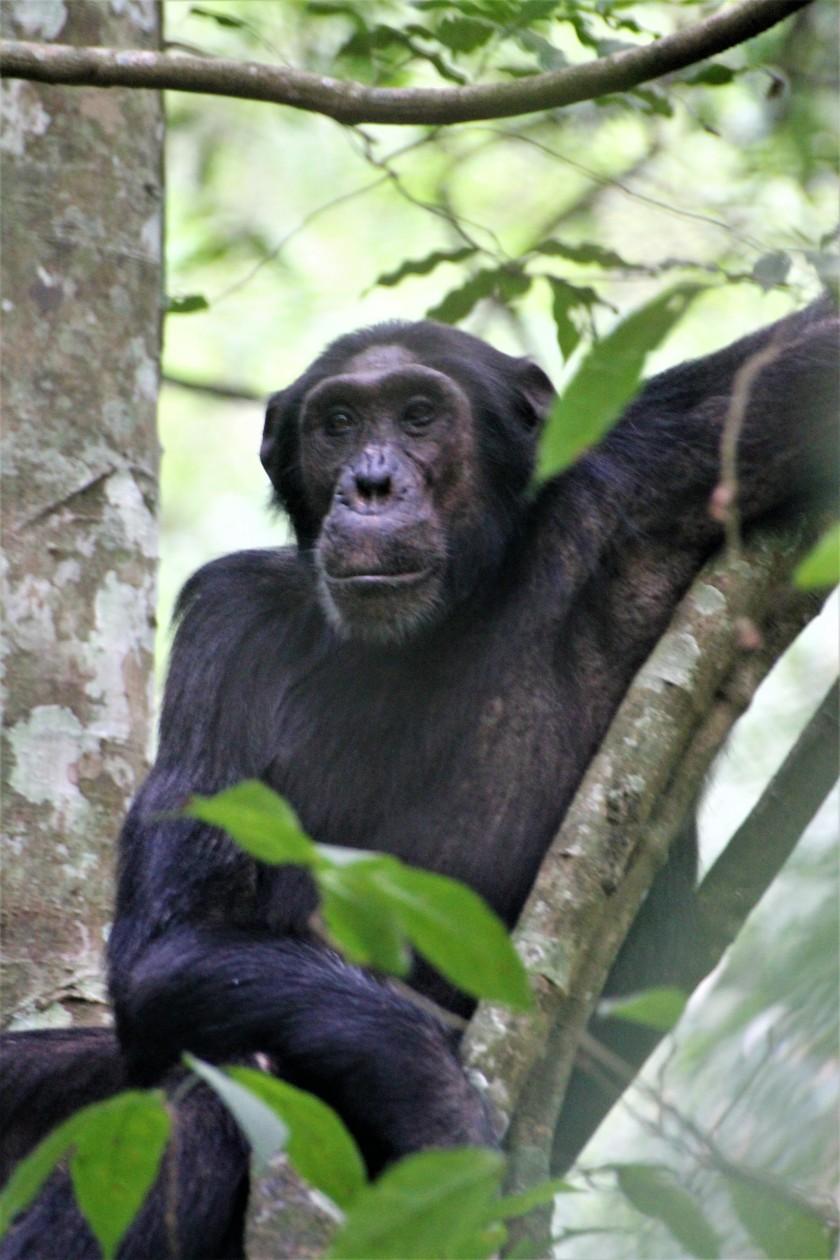 Simpansi.JPG